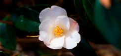 Camellia Trail Mount Edgcumbe